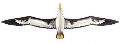 ハイパー「大型アホウドリ」