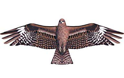 翼長1.24mトビ