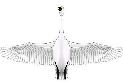 翼長1.27mハクチョウ1(顔が見えるタイプ)