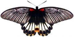 ナガサキアゲハ